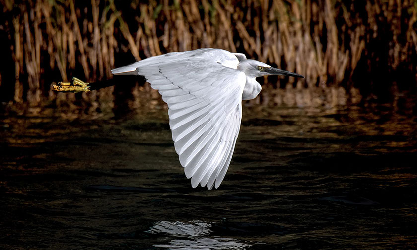 THIRD PLACE – Little Egret by Andrew Beatson