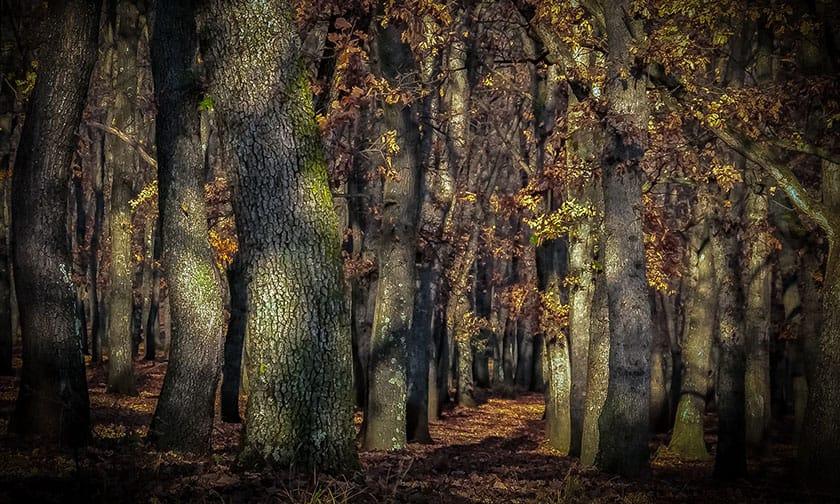 Oak Forest by Andrew Beatson